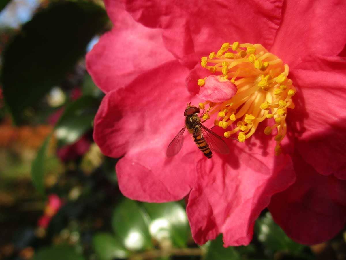 椿の蜜を吸う昆虫