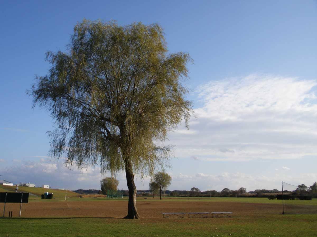 運動場にある一本の木