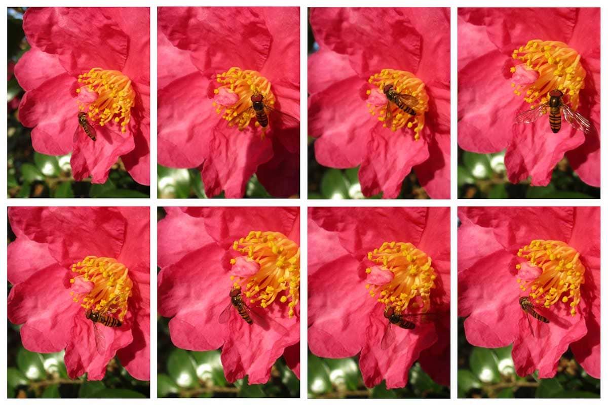 花の蜜を吸うアブ