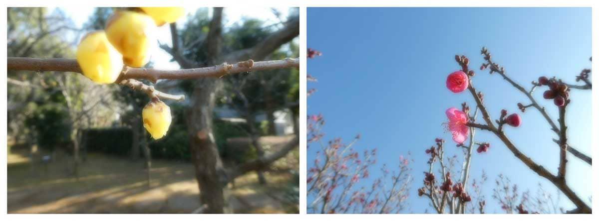 ロウバイとピンク色をした梅の花々