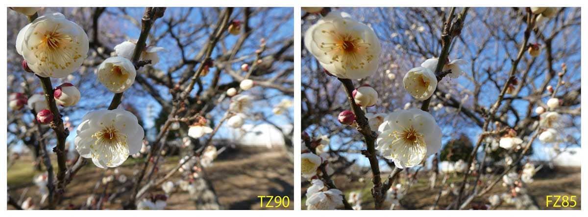 見ごろを迎えた白梅の花
