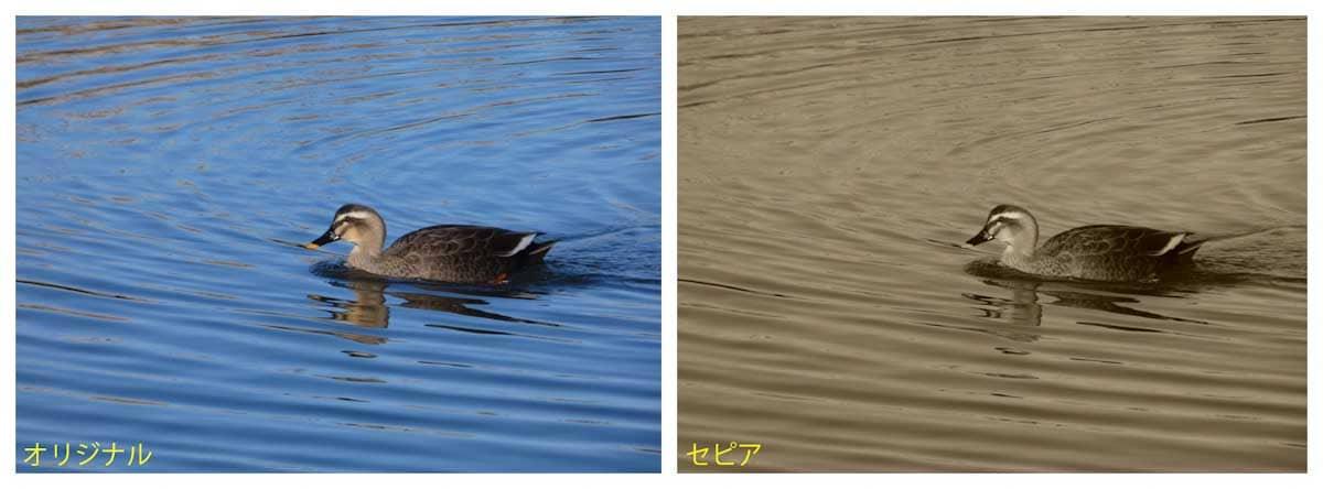 池で泳ぐ1羽のカルガモ