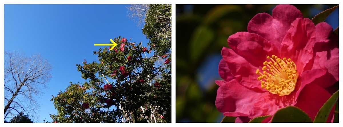 超望遠で撮影した椿の花