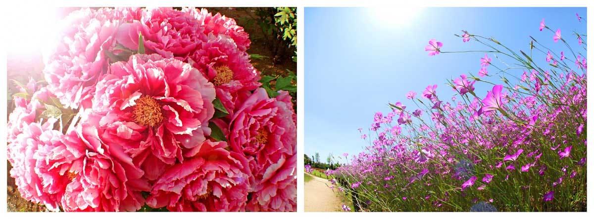 見ごろを迎えたボタンの花とムギナデシコ