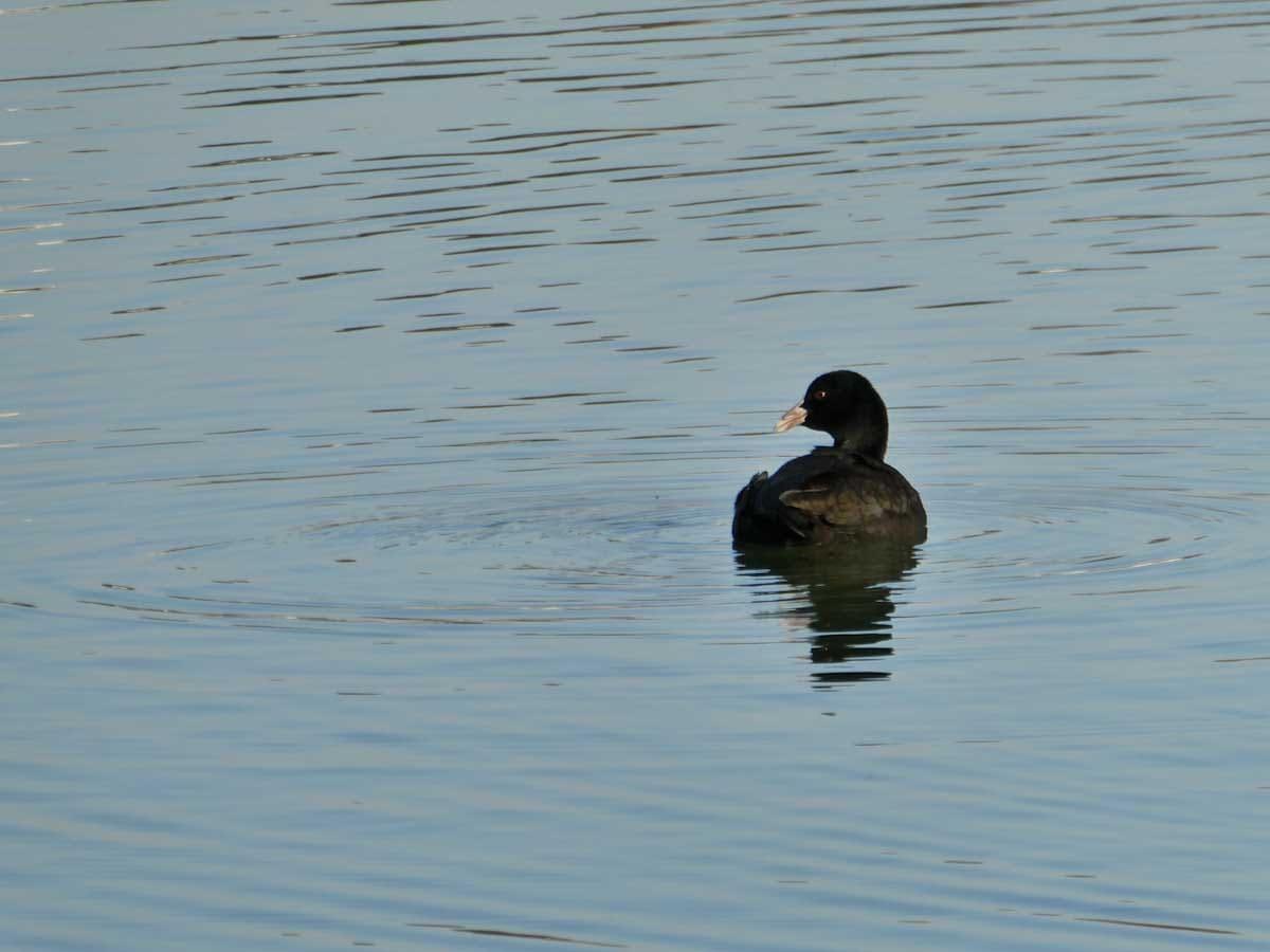 湖で泳ぐ黒いカモ