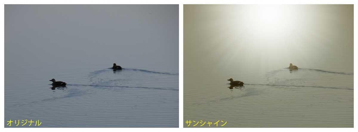 湖で泳ぐ2羽のカルガモ