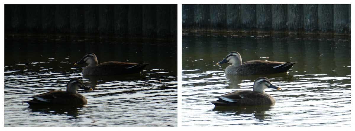 池で泳ぐ二羽のカルガモ