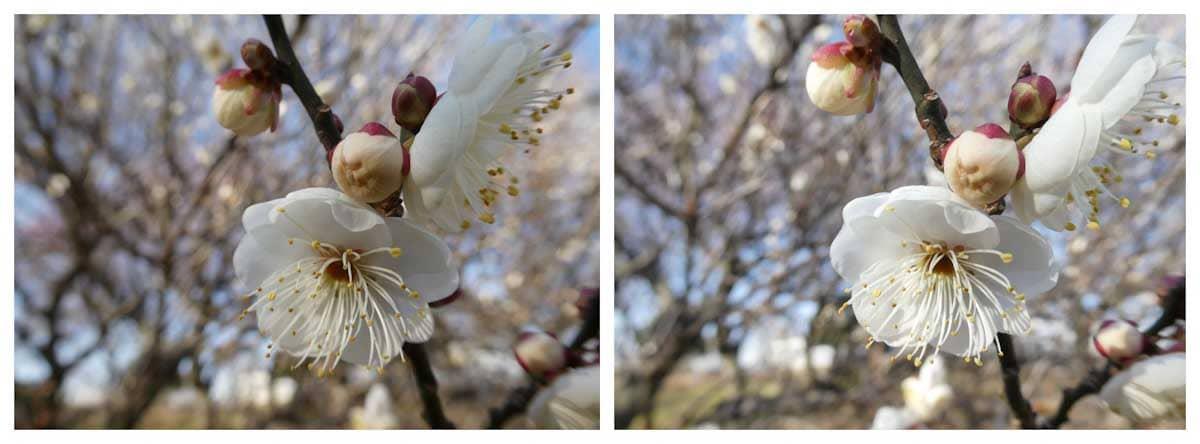 1月初旬に咲く梅の花