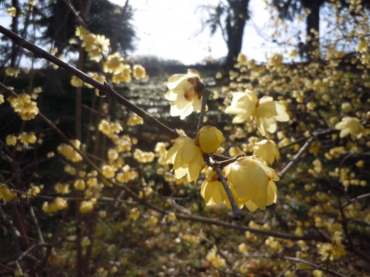 見ごろを迎えたロウバイの花々