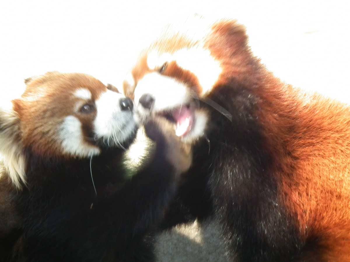 2匹のじゃれあうレッサーパンダ