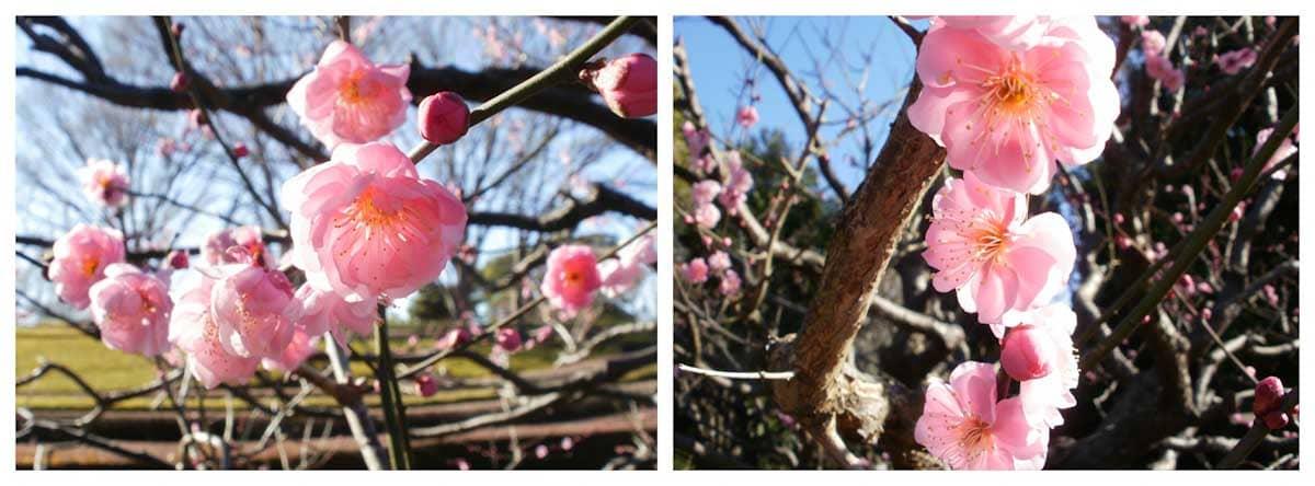 紅梅の花々