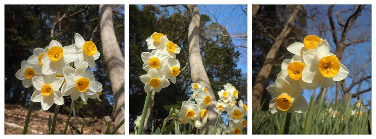 見ごろのスイセンの花