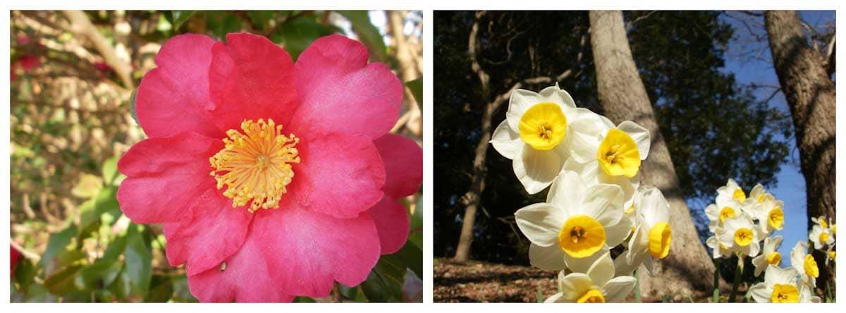 赤い椿とスイセンの花