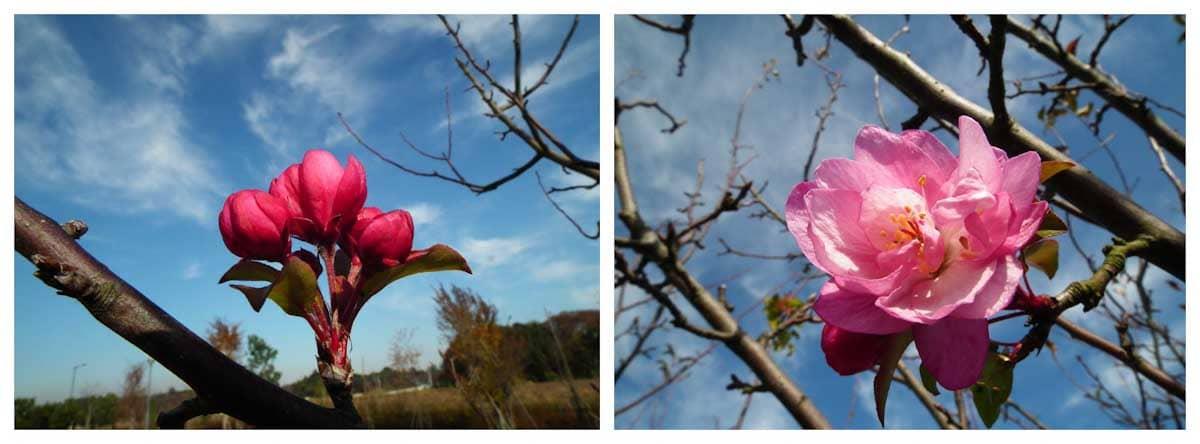 咲き始めと見ごろのカンツバキ