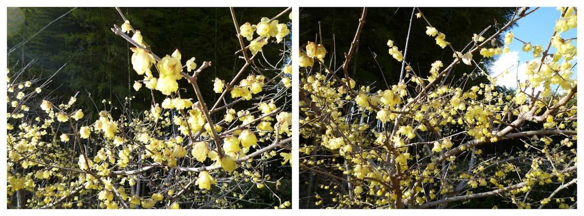 見ごろのロウバイの花