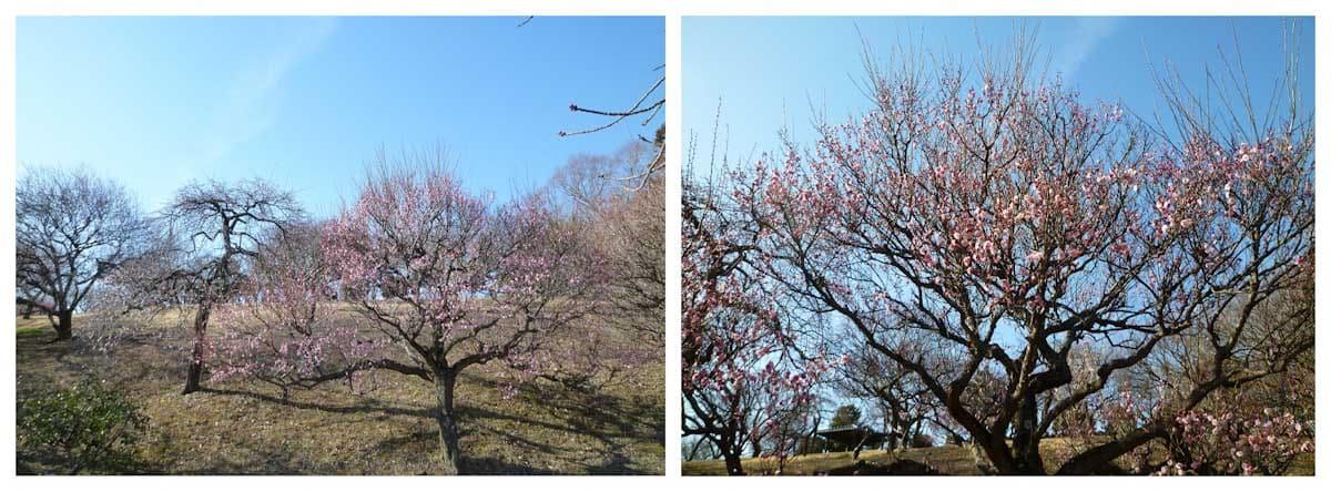 青空と梅の木々
