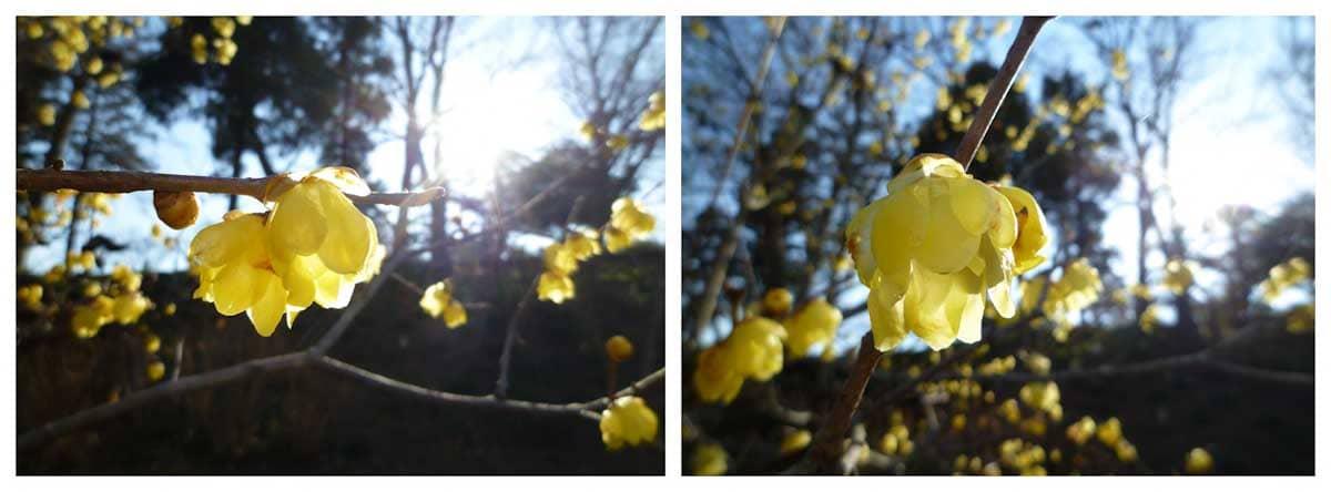 拡大したロウバイの花