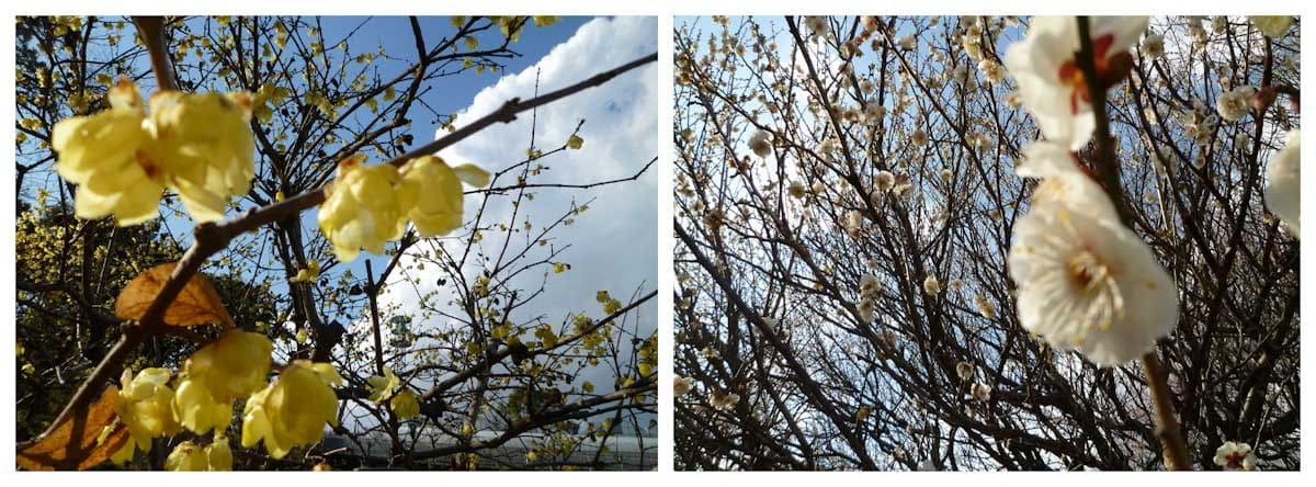 ロウバイと梅の花