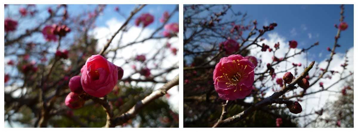紅い梅の花々