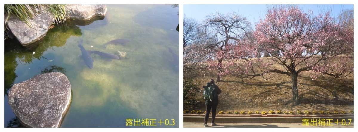 小池で泳ぐ鯉と見ごろを迎えた梅の木