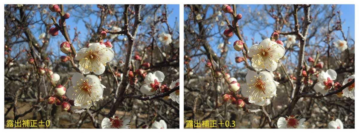 満開を迎えた白梅の花々