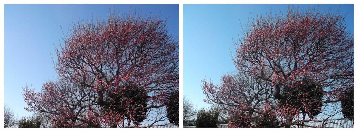 青空の下で咲く梅の花