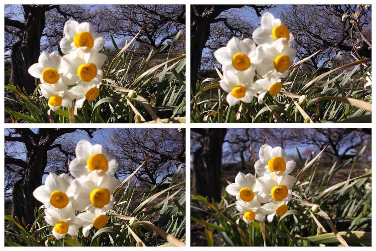 見ごろを迎えたスイセンの花