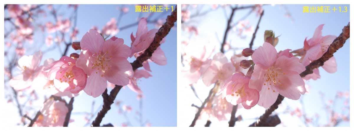 ピンク色の河津桜の花