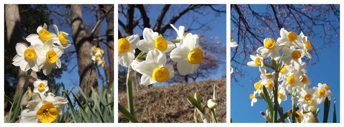 元気に咲く見ごろのスイセンの花々