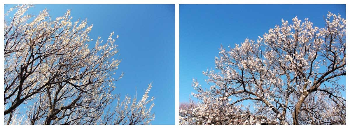 青空と白梅の木々
