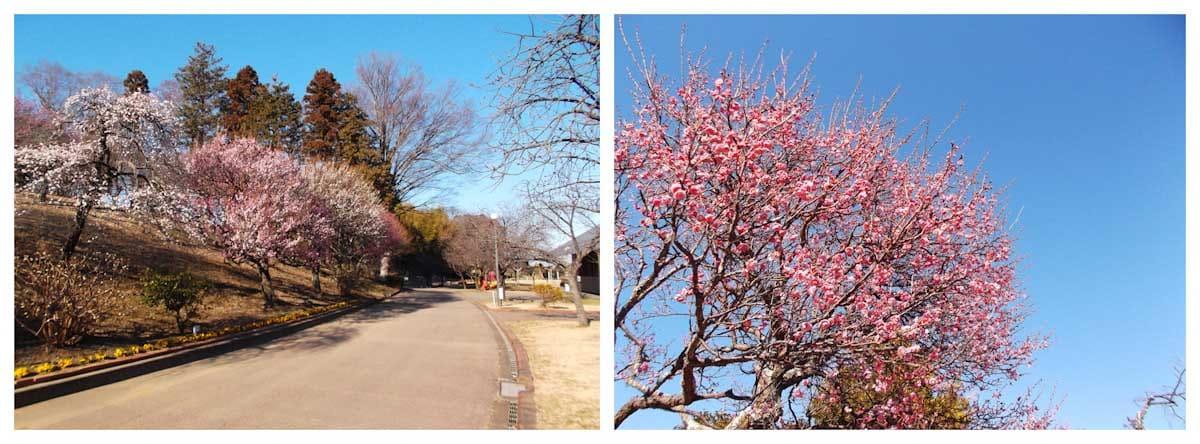 見ごろを迎えた紅梅の木々