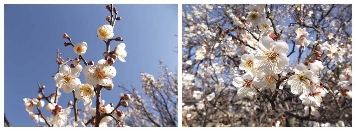 見ごろを迎えた白梅の花々