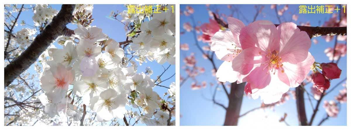 ピンクと白の桜の花々