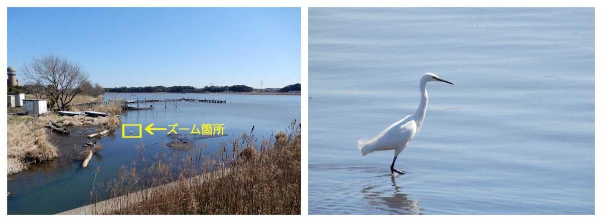 湖の浅瀬に佇む1羽の白い鳥