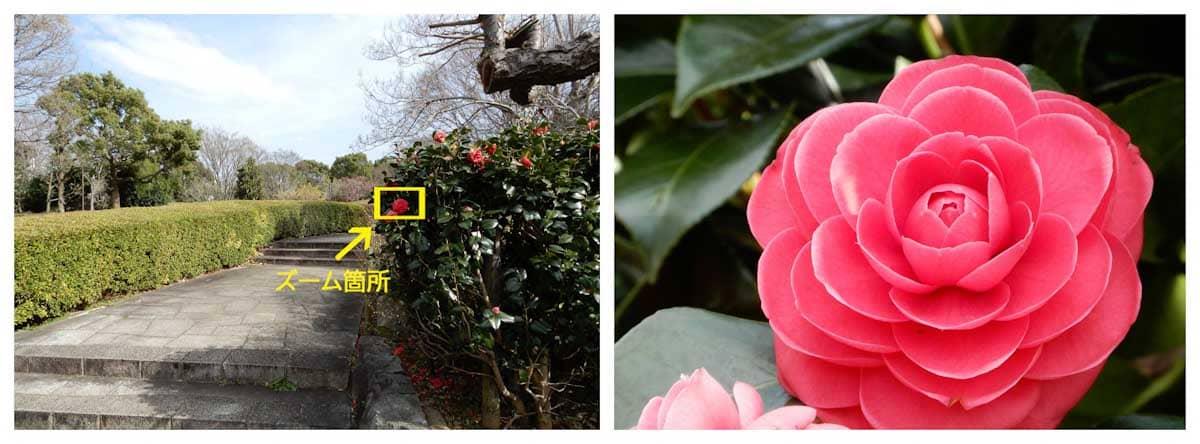 見ごろを迎えた赤いツバキの花