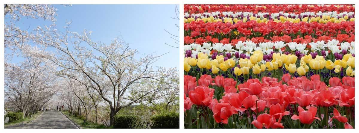 満開の桜と色とりどりのチューリップ