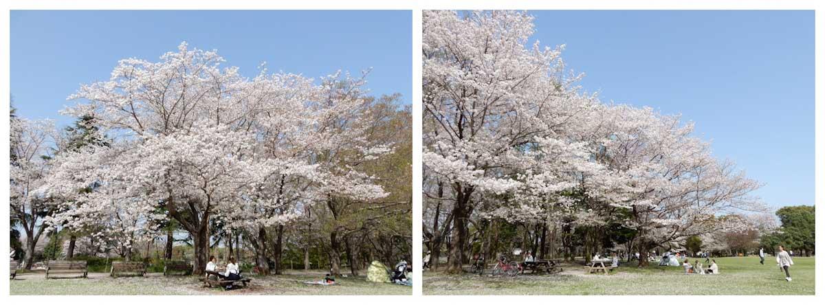 満開の桜と桜を楽しむ人々