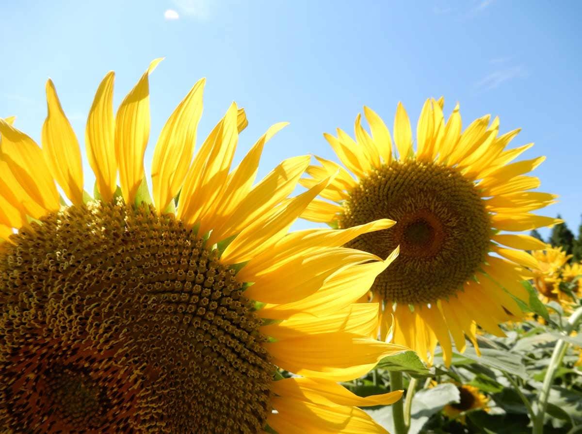 青空の下で咲く2輪のひまわりの花