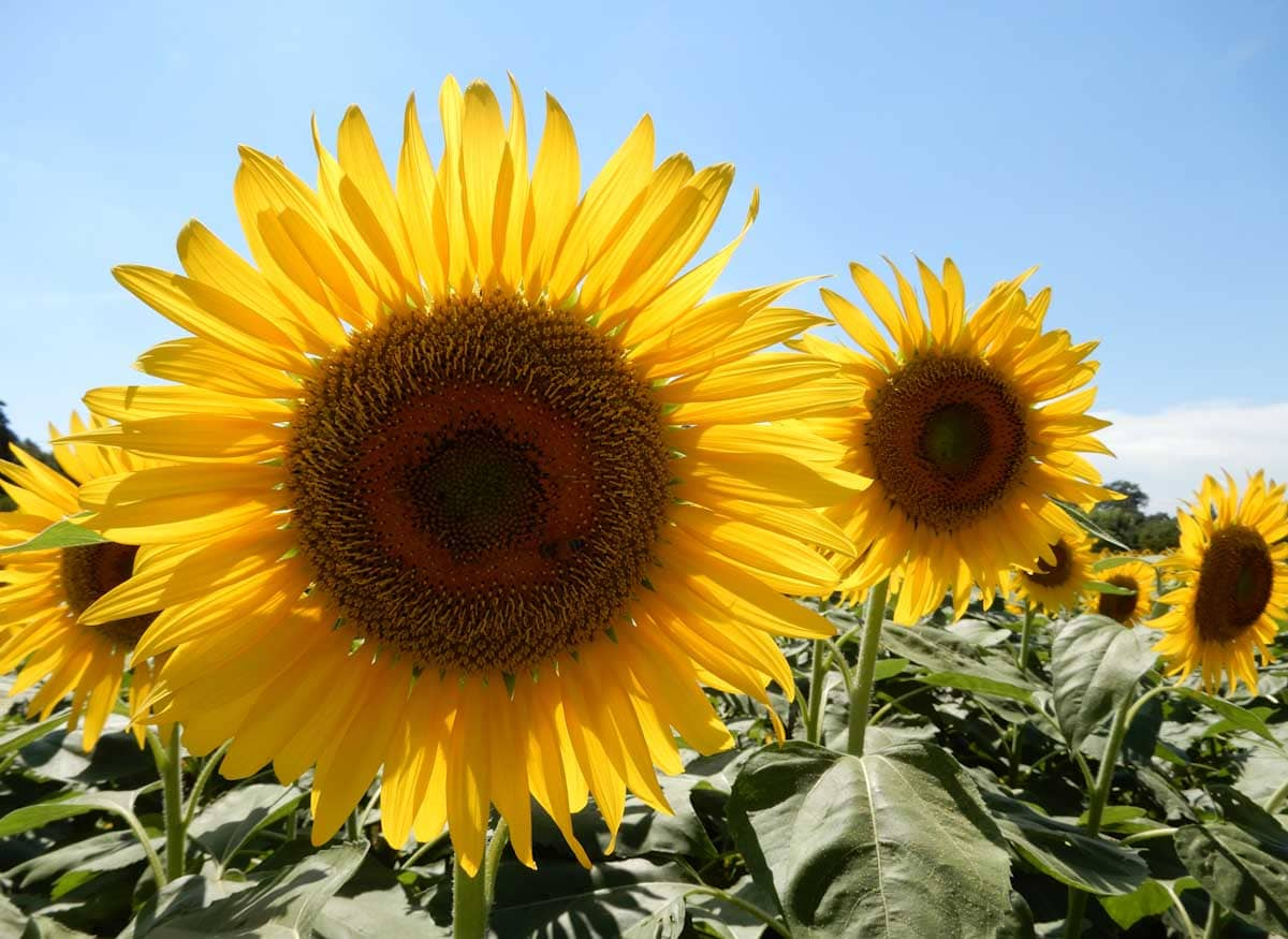 咲いたばかりの向日葵の花