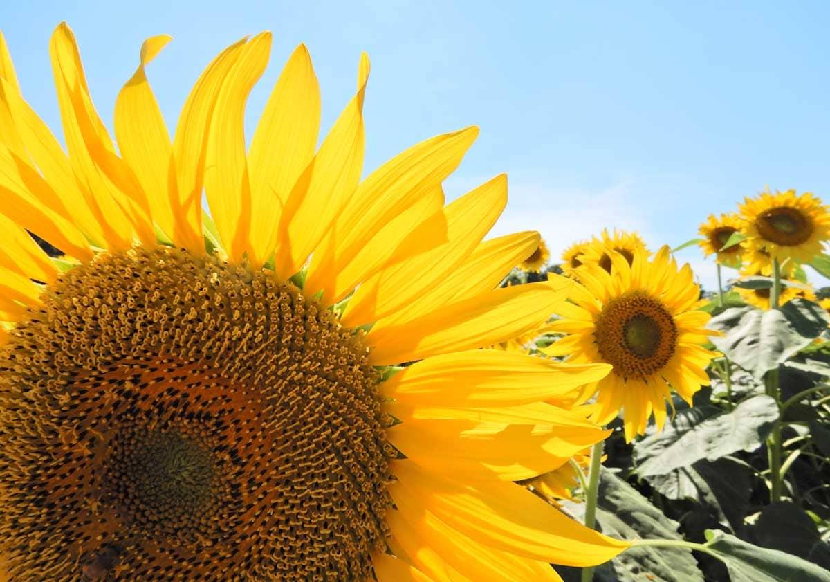 青空の下で元気に咲くひまわりの花