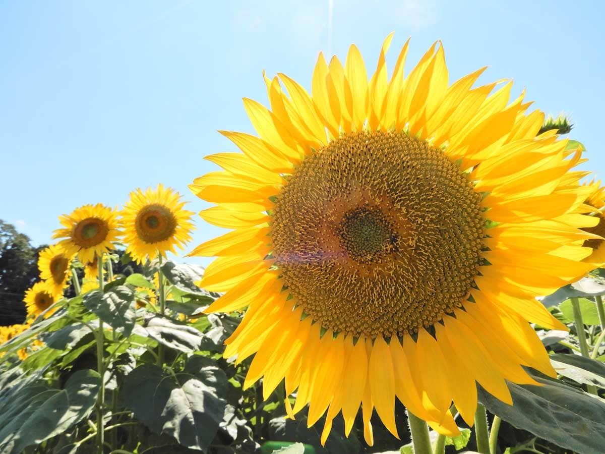 太陽に照らされる見ごろを迎えたひまわりの花