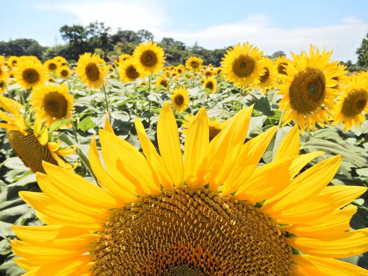 元気に咲く無数のひまわりの花々