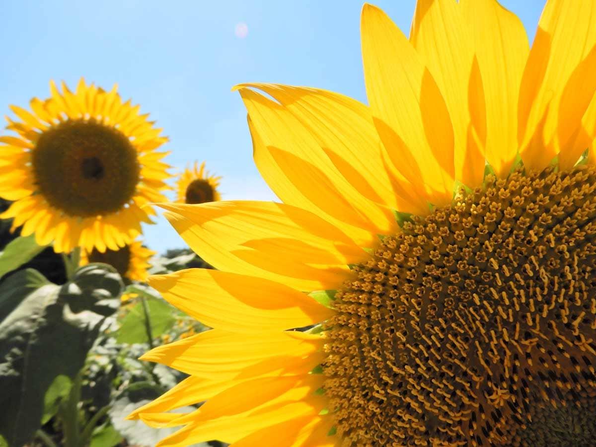 見ごろのひまわりの花を拡大して撮影