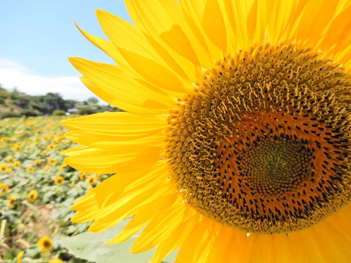 大地に咲く太陽のようなひまわりの花