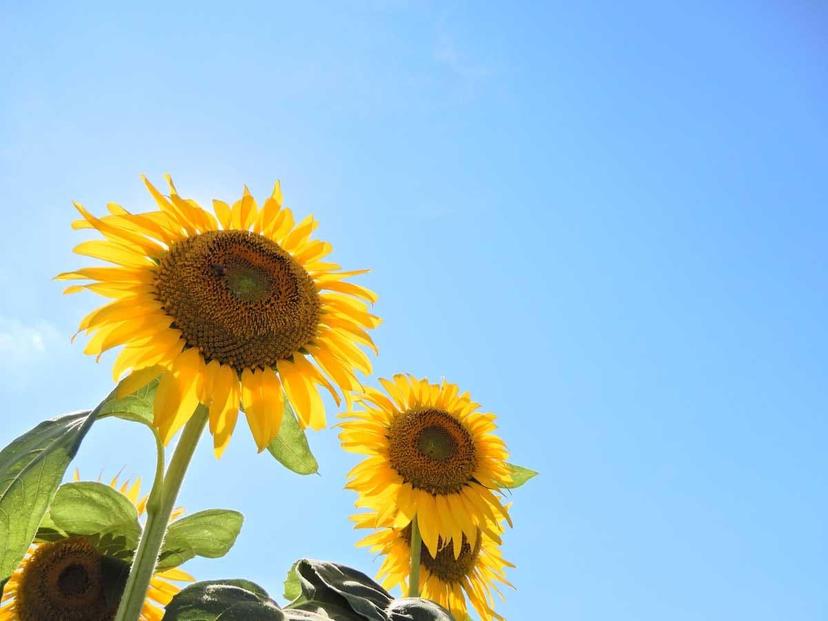 青空の下で元気に咲く2輪の向日葵の花