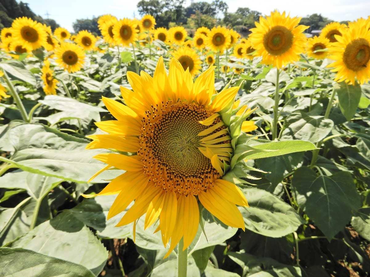 もうすぐ満開を迎えるひまわりの花