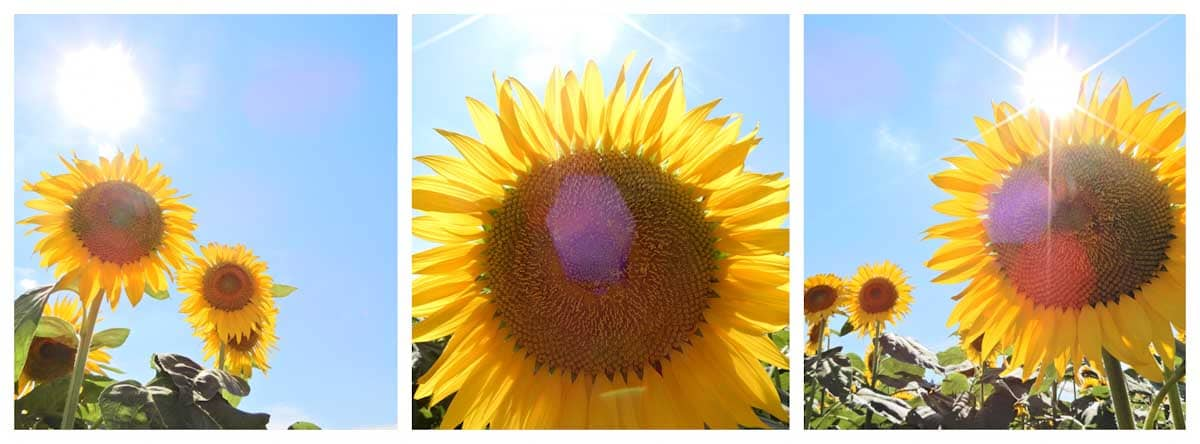 逆光で撮影した向日葵の花
